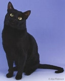 The Bombay Cat Breed