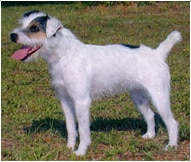 Razza Canina Jack Russell Terrier Informazioni E Tratti
