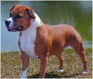 The Staffordshire Bull Terrier Dog Breed