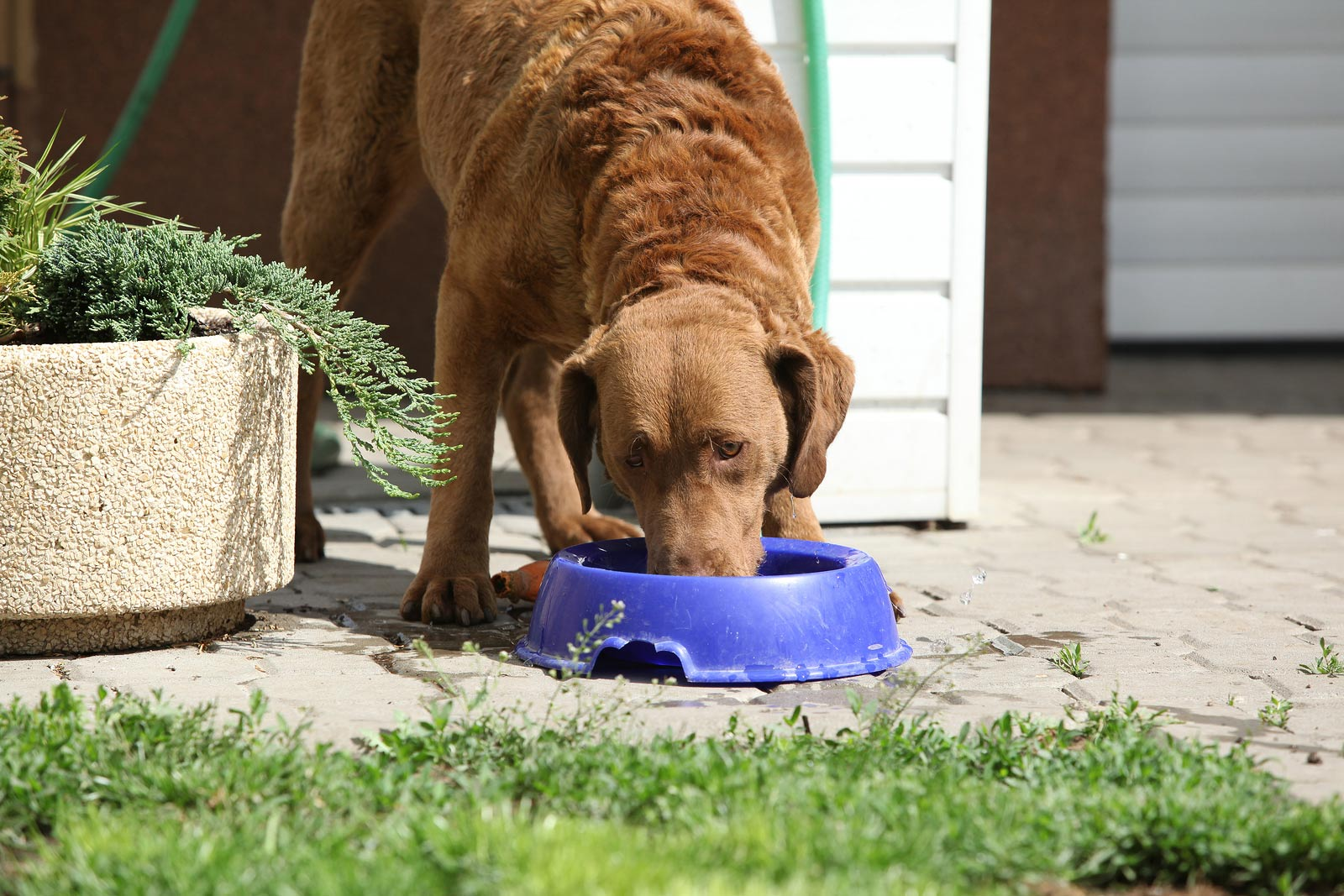 Brown dog eating food out of a blue bowl in the backyard.