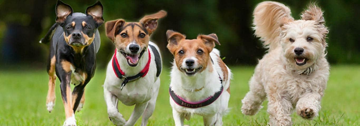 Razza Canina Setter Irlandese Informazioni E Tratti Della